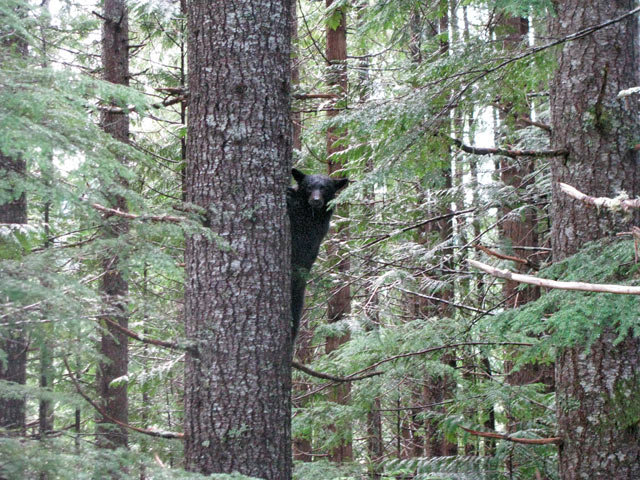 Baby Black Bear in a BC Forest